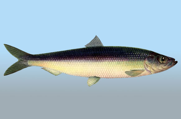 Clupea harengus: The Homœopathic Proving of The Atlantic Herring Atlantic